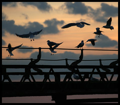 Totland Pier, Isle of Wight. Arrivals. (s0ulsurfing) Tags: light sunset sea sky cloud sun seagulls bird water beautiful birds silhouette clouds island evening coast twilight lowlight bravo skies moody chaos dof sundown dusk gull gulls flight shoreline peach silhouettes canvas formation coastal shore vectis isleofwight coastline gliding isle wight pests 2007 totland wondeful cadetblue canvasart specnature totlandbay s0ulsurfing canvasprints anawesomeshot colorphotoaward totlandpier infinestyle goldenphotographer ysplix coastuk thegardenofzen gicleecanvasprints