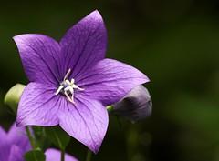 Platycodon grandiflorus (AnyMotion) Tags: flowers plants macro nature floral garden natur blumen makro 2007 anymotion