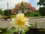 ดอกบัวที่วัดไทย ในอินเดีย