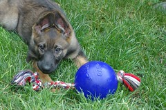 Yummy! (cwgoodroe) Tags: dog color cute fall face tongue closeup ball puppy fur toy spring furry play fuzzy shepherd watching guard ears canine running run german cuddle stick chew gnaw attention playful ran trot shephard guarding k9 germanshephard observant gsd cutepuppy alet sephard germanshepherdeyes