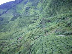 DSCN0379 (huai*) Tags: highlands tea cameron teaplantation