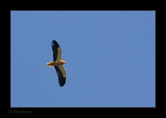 20071117-_MG_2972-VultureFlight