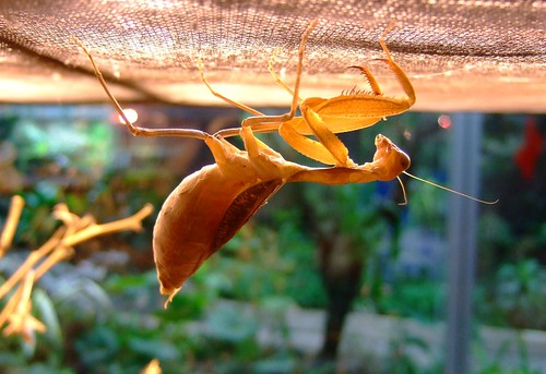 an orange coored preying mantis specie