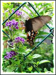 Common Mormon (Papilio polytes, female form stichius)