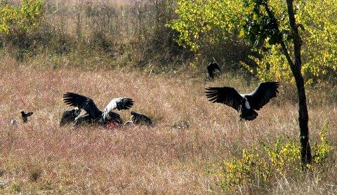 vultures feeding off a kill 231207