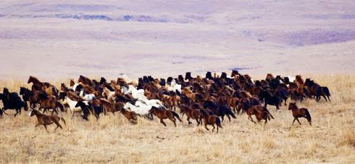 gathering mares 037