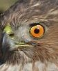 Warehouse Coopers hawk close up eye