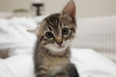 Bennie (richard.leaf) Tags: kittens 5d bennie