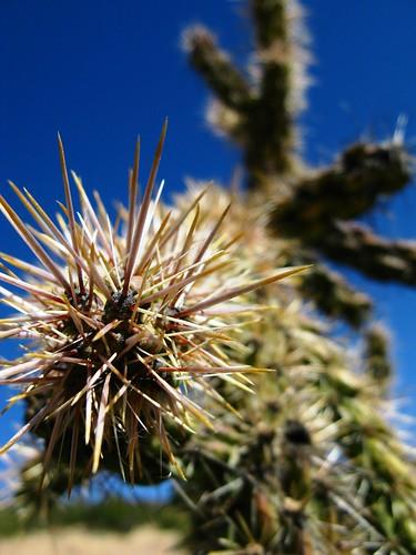 Cactus near McDonald Observatory, Texas, USA