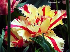 Botanico de Madrid tulipan rizado (ferlomu) Tags: ferlomu awesomeblossoms flowersarefabulous excellentsflowers flower