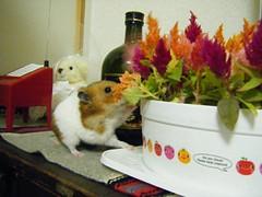20080308 - 03 (kayako_) Tags: hamster pon