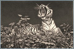 'Nightshift' - Tiger - Fine Art Pencil Drawings - Signed  www.drawntonature.co.uk (kjhayler) Tags: pictures portrait art pencil portraits print landscape image drawing wildlife tiger picture drawings images naturalhistory bigcat jungle tigers prints wildcat laos tigerprint bigcats tigress animalart wildcats wildanimals animalprints bengaltiger phet wildlifeimages drawingpictures animalpictures wildlifeart indochinese animalscats wildlifephotography wildlifephotos bengaltigers animalphotos animaldrawings wildlifeartists naturepictures tigerprints tigerportrait wildlifeportraits wildpictures phototiger animalspictures wildlifetiger picturescats tigerphoto tigerdrawing openedition tigerart tigerphotos wildlifeartist wildlifedrawings drawingphotographs kevinhayler animalstigers wildlifetigers tigerpictures tigerspictures tigerimage tigerimages photostigers picturestigers portraittiger careforthewild imagestiger picturetiger imagetiger tigerportraits bigcatpictures