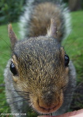 Nosy! (visionthing64) Tags: park animal mammal nose grey rodent hall squirrel cheshire wildlife monthlyscavengerhunt dunhammassey altrincham digitalcameraclub msh1108 msh110817