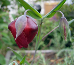 white calochortus, reddish variety