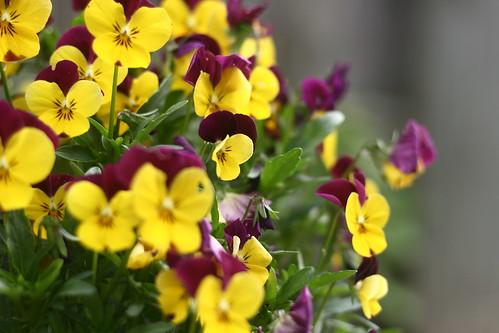 Serendipitous Violets