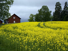 Field of yellow on a hill (diesmali) Tags: rural sweden farm tracks rape f22 sverige agriculture rapeseed oilseed stergtland canonefs1785mmf456isusm canoneos40d johanklovsj unnerstad idyllicsweden