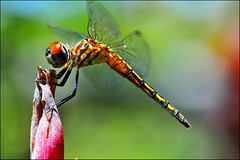 (Bravo_Kilo) Tags: macro bug insect nikon dragonfly velvia bluedasher nikon105mmf28vr nikkor105mmf28gvrmicro nikond300