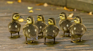 Ducklings, Roma Street Parklands