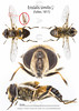 Eristalis similis♀ (Fallèn, 1817) (iwanvh) Tags: 1817 arthropoda diptera eristalissimilis♀fallèn fauna insecta art artist biodiversity environement iwan iwanvh naturalist naturaliste nature photographe photographer syrphe syrphidae vanhoogmoed wwwiwanvhcom