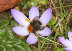 Photo of Tree Bumblebee