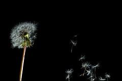 Breeze (ICT_photo) Tags: ontario wind guelph seed blow dandelion breeze ianthomas ictphoto