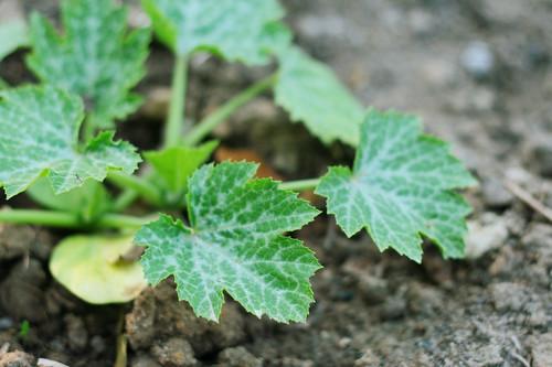 groensel2