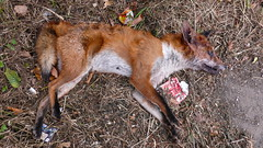 Foxed (frazerweb) Tags: road rotting naughty dead accident bad bull dirty crime pile gross disgusting roadkill rotten discarded corpse sly lying sick fucked twisted decayed villains salesman stinking vile abondoned gruesome hitandrun gory hoods shitter maggot crooks dumped criminals deaded shagged muggers conmen splatted frazerweb
