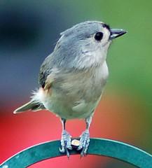 tufted titmouse (Vicki Dawn) Tags: birds backyard titmouse tufted
