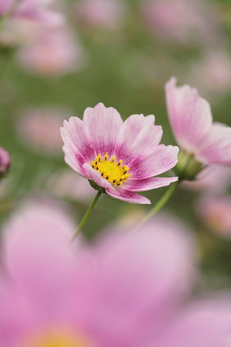 "Cosmos ""Happy ring"""