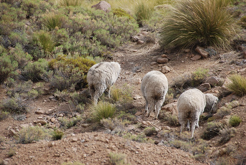 sheep grazing the vast bush of Lesotho