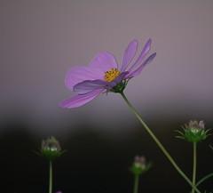 3/365 (bethechange21) Tags: flowers ohio garden evening purple bokeh cincinnati explore day3 cosmos communitygarden mariemont abigfave 365project isawyoufirst theperfectphotographer capturecincinnati