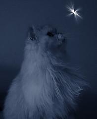 Puss. Silver Persian. Little Star! (ezekial) Tags: blueribbonwinner kissablekat