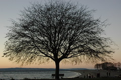 Tree on the beach. Golden Gardens Park, Sunset...