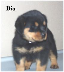 d2 (muslovedogs) Tags: dogs puppy rottweiler teaara zeusoffspring