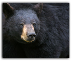 Teddy Black Bear (LeFon) Tags: bear canada black bravo teddy quebec ours specanimal lefion animalkingdomelite mywinners colorphotoaward superbmasterpiece megashot bratanesque