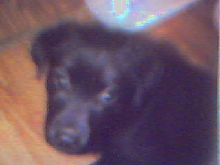 black labrador retriever puppy - Moi