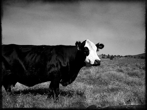 Lonely old cow