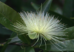 Syzygium jambos (Greg Miles) Tags: myrtaceae lillypilly roseapple syzygiumjambos photosexplore フトモモ