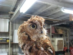 Screech owl mussed