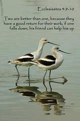 avocets (flyingibis) Tags: two american bible verse avocet ecclesiastes avocets