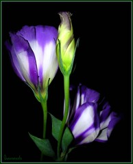 **Lisianthus...essence of an outgoing nature. ** (Queenscents) Tags: flowers blue white black flower macro green nature leaves sign japan leaf flickr border explore frame bud excellence lisianthus platinumphoto megashot queenscents theperfectphotographer goldstaraward  lisanthis