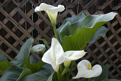 The Calla Lily Five (rdmrtnz) Tags: flower bloom callalily rigomartinez