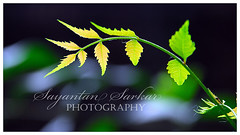 When that one bit of sunshine touches your soul.. you know you are renewed, refreshed.. u are born again (Sayantan Sarkar - The Glamor Factory) Tags: plant green nature leaf flora ecosystem naturesfinest blueribbonwinner nikond200 photostock photosforsale nikonstunninggallery mywinners p1f1 globalphotography nikkor18135mm sayantansarkarphotography framezunlimited sayantansarkar brillianteyejewel goldstaraward theglamorfactory nikonflickraward artdirectorschoice stockimagesforsale personalphotodatabase sayantansarkarphotographyfullcollection glamorfactoryimagegallery indianphotographersphotosforsale