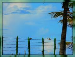 Cerca (Arimm) Tags: blue sky tree bird freeassociation fotosencadenadas brasil fence wire coconut brasileiro correntedefotos diaadia fz18 arimm