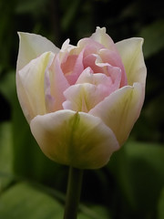 Tulip (Britta's photo world) Tags: pink plant flower tulip britta 60mmf28dmicro firstquality flowerotica niermeyer chatreuse abigfave ishflickr theunforgettablepictures awesomeblossoms