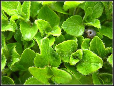 herb copy
