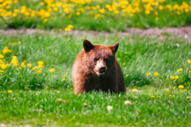 bear cub in dandelions