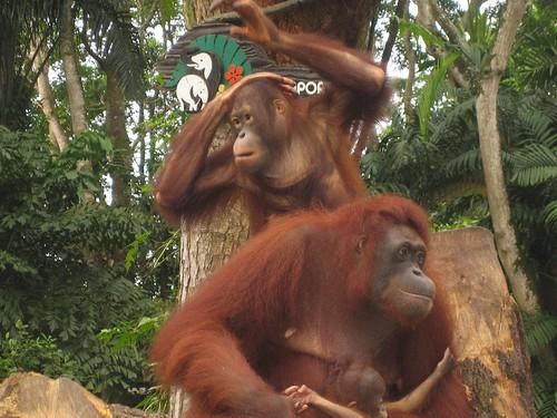 orang utan singapore zoo