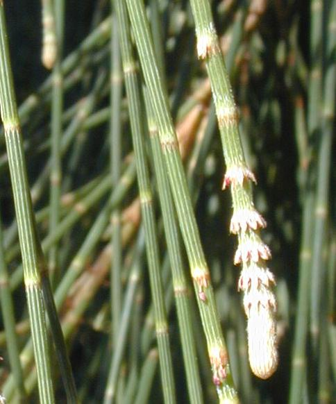 Casuarina foliage close-up