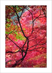 Acer Glade (Steve-T201) Tags: acers autumn colour westonbirt nationalarboretum
